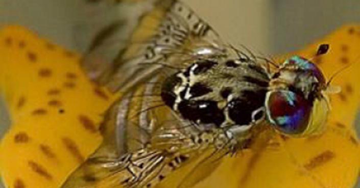 Activa Agricultura dispositivo nacional en Chiapas para erradicar la mosca del Mediterráneo