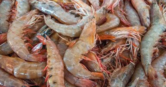 Comenzó la captura de camarón en el Alto Golfo de California